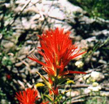 paintbrush.JPG (28336 bytes)